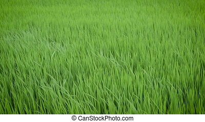 Green view of rice plant swinging in the wind,