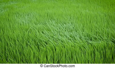 Green view of rice plant swinging in the wind