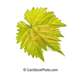 green vine leaf on white background