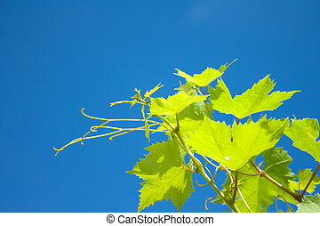 Green vine leaves . Green grapevine twig on blue sky