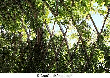 Green vines on wooden trellis - Lush green vines growing...