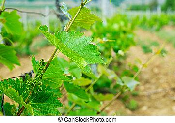 Green vineyard