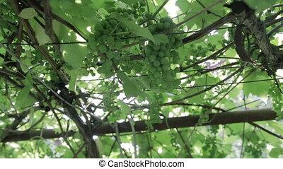 Green vineyard, close-up