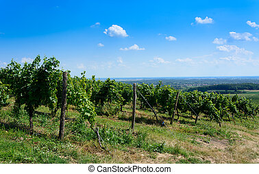 Green vineyard in Tokaj region in Hungary