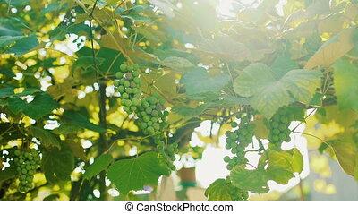 Green vineyard on a bright sunny sky background 4K
