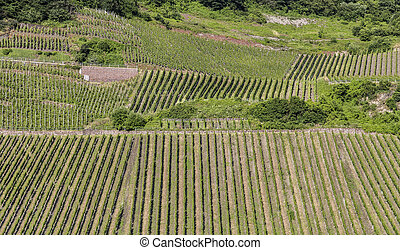 green vineyards at the river Moselle in summer