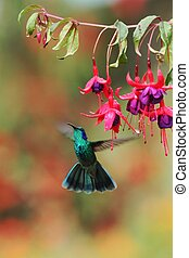 Green violetear, Colibri thalassinus, hovering next to red flower in garden, bird from mountain tropical forest, Mexico, natural habitat, beautiful hummingbird, colourful background