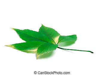 Green virginia creeper leaves on white background with copy space