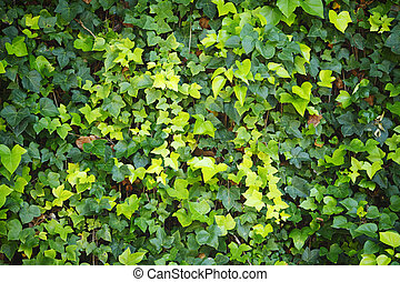 Green wall of Ivy leaves at sunny day