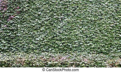 Green wall   - The wall overgrown with ivy