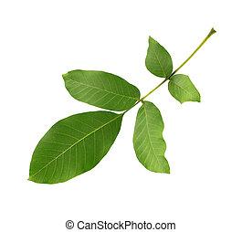 Green walnut leaf isolated on white background. Branch of walnut.