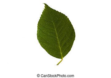Green walnut leaf isolated on white background