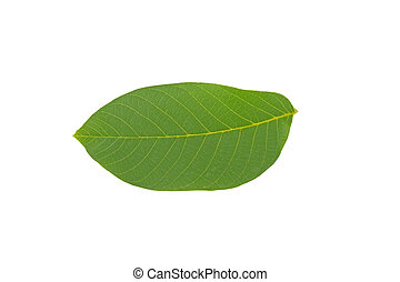 green walnut leaf isolated on white background