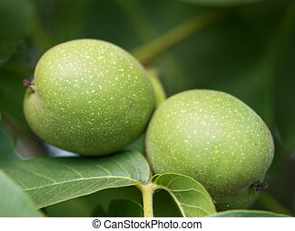 green walnuts as nature background