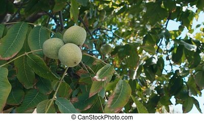 Green walnuts growing on a tree