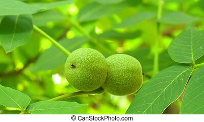 Green walnuts ripen, on branch of tree with green leaves ...