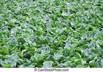 Green water hyacinth