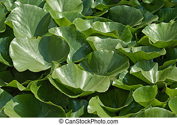 Green water lily leaves