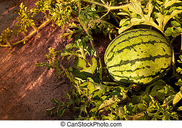 Green watermelon growing in the garden. Young striped watermelon grows on vegetable bed. Large watermelon grows in a garden. Ripe watermelon. Free space for your text.