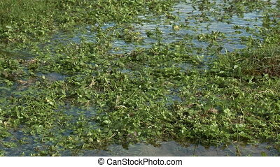 Steady, medium close up shot of green weeds in shallow water.