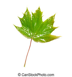 Green wet maple leaf