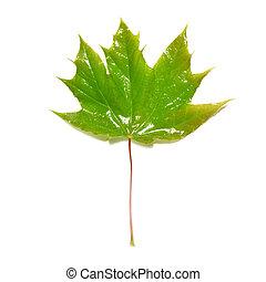 Green wet maple leaf