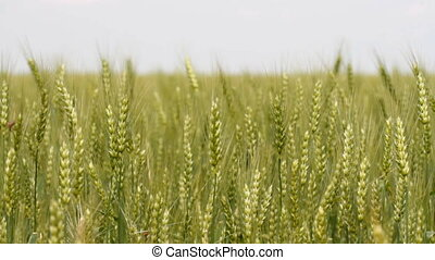 Green wheat and singing birds