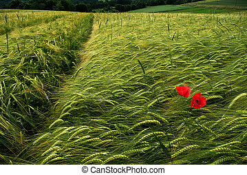 barley fields with poppy - green wheat - barley fields with...