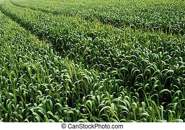 Green wheat crops