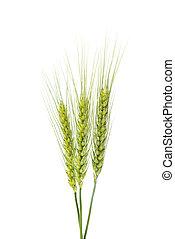 Green wheat ears isolated