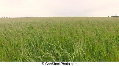 Green wheat field aerial view