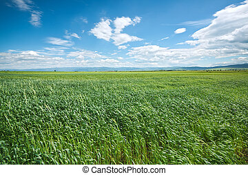 Green wheat field and blue sky