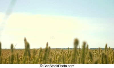 green wheat field and sunny day slow motion video....
