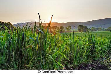 Green wheat field at sunset