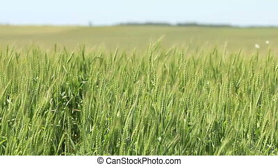 Green wheat field - ears on wind