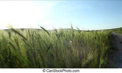 Green Wheat Field Illuminated By The Sun.