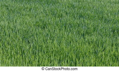 Green wheat field in late spring