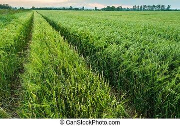 Green wheat field in spring