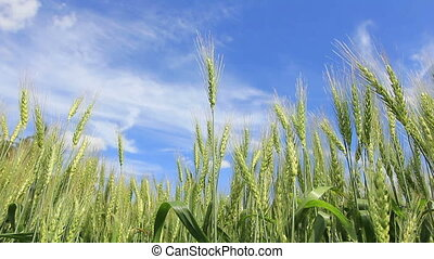 Green wheat field panning