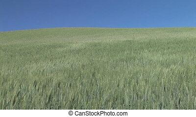Rippling field of green wheat, Palouse, Washington