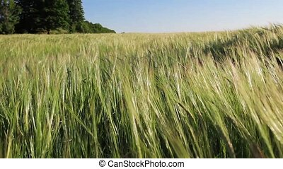 Green Wheat Field Waves