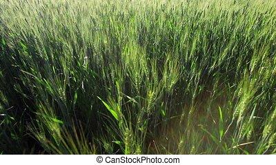Green Wheat Field Waves