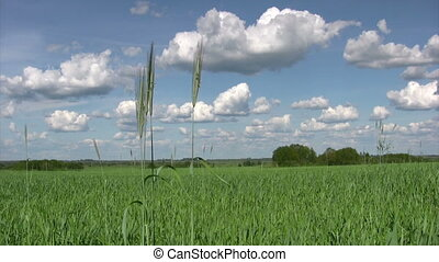 Green wheat field with cloudy sky