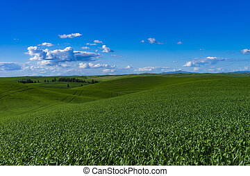 Green wheat fields in Washington state