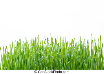Green wheat grass isolated on white background