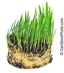 Green wheat grass with roots