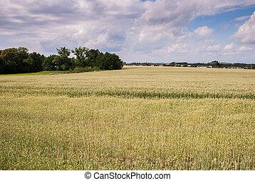 Green wheat growing in a farm field