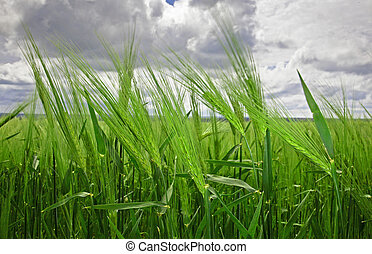 Green Wheat Heads Against Cloudy Sky. XXL