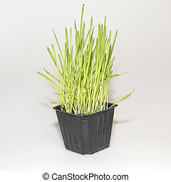Green wheat in a pot