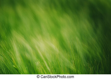 Green wheat in cultivated field as abstract agricultural background